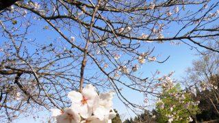 桜の最終組