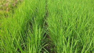 有機栽培から自然栽培へ