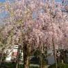 垂れ桜がとっても綺麗です。
