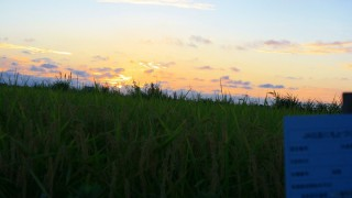 朝晩が涼しくなり稲穂も頭を垂れ始めました