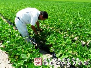 安全で美味しい茶豆