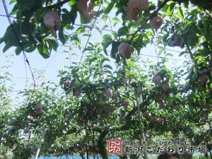 梨本来の生命力を引き出す栽培