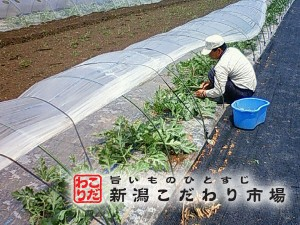 つる引き栽培