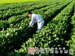 茶豆栽培の土壌