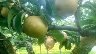 豊水 二十世紀の収穫最盛期のお知らせ