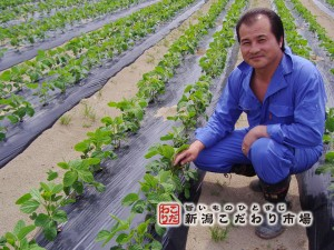 広大な茶豆畑