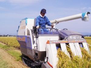 豊かに実った稲の刈り取り