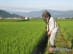減農薬での稲作