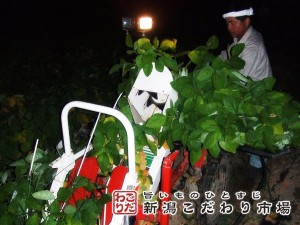 茶豆の収穫適期