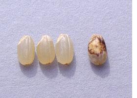 被害粒と正常な米粒