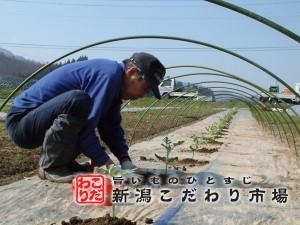スイカ栽培の始まり
