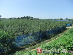 自然豊かな土地での梨作り